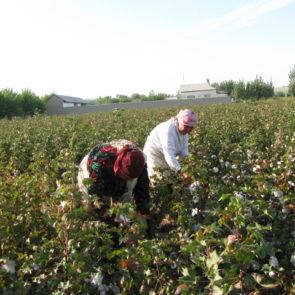 Cotton 2010 – 12