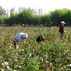 Cotton 2010 – 25