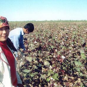 Cotton 2010 – 11