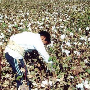 Cotton 2010 – 3