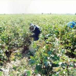Cotton 2010 – 38