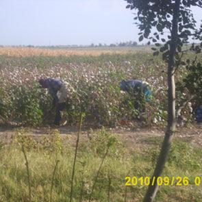 Cotton 2010 – 5