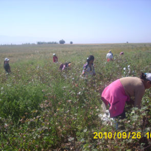 Cotton 2010 – 8