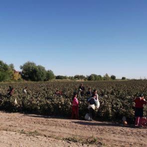 Cotton 2011 – 22