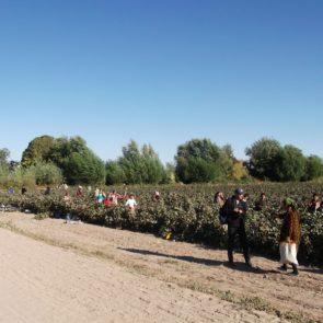Cotton 2011 – 23