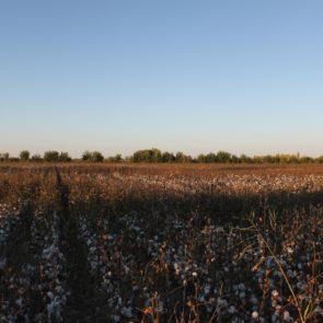 Cotton 2011 – 7