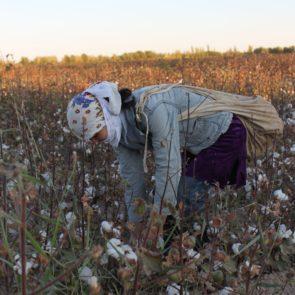 Cotton 2011 – 8