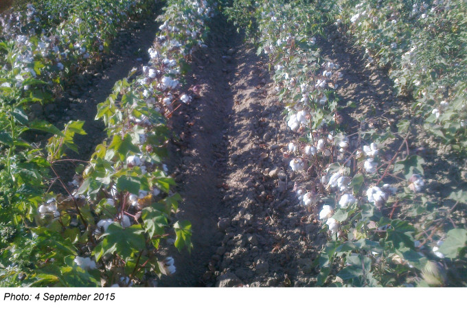 Cotton Harvest, 4 September 2014