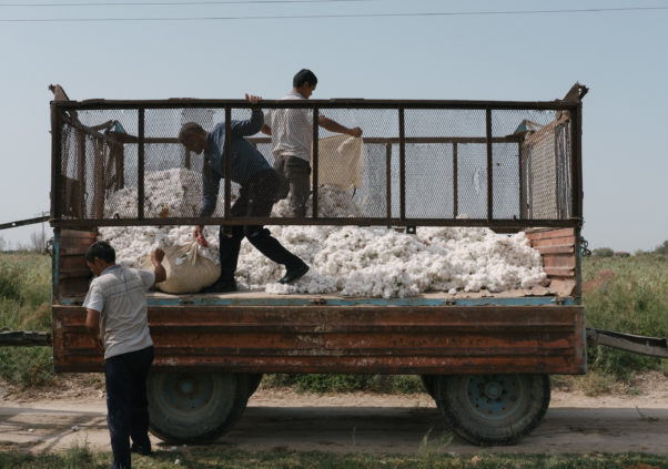 Tashkent Region: Two Farmers Arrested for Defaulting on Cotton Loans