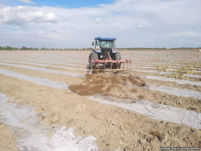In Namangan, hundreds of hectares sown with vegetables were destroyed to increase cotton production